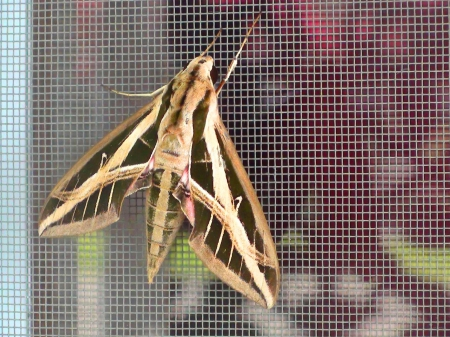 Big Moth - moth, outside, bugs, nature