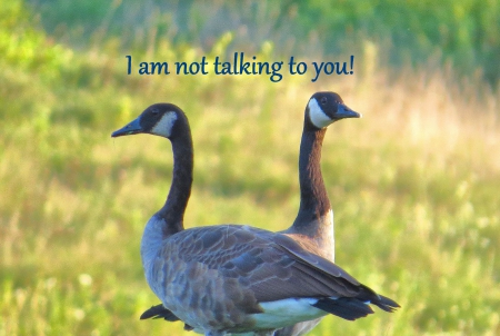 Not Talking to You - geese, angy, attitude, indifference, nature, funny, goose, humorous