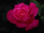 A bright pink rose in the dark.