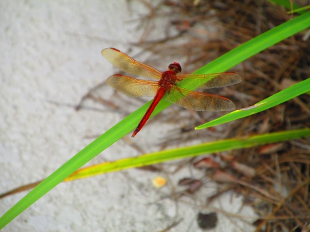Red Dragonfly - dragonfly, cute, pretty, red