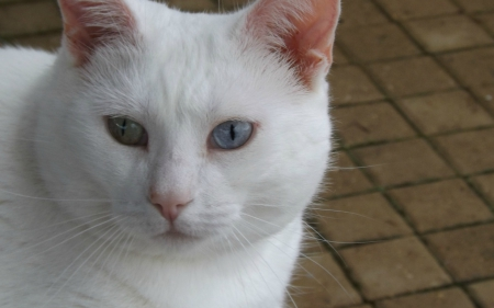 sian - furry, siam, white, cat, eyes