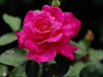 Quite Attractive Rose