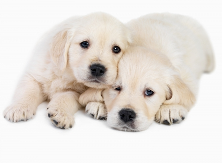 ♥Brotherhood♥  - puppies, golden, brotherhood, animals, dogs, sweet
