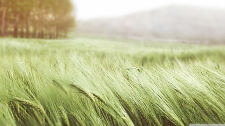 Green wheat - photography, grass, wheat, nature, fields, scene, landscape