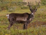 Handsome Caribou 2