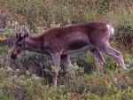Young Caribou 2