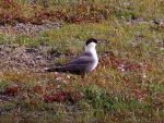 Long-tailed Jaeger 1