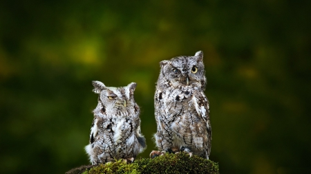 *** Owls *** - birds, owls, animals, animal