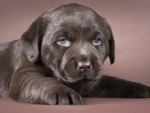 *** Little labrador ***
