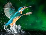 *** KINGFISHER ***