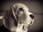 Beagle ♥