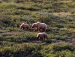 Grizzly Family 2