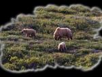 Fancy Grizzly Family 2