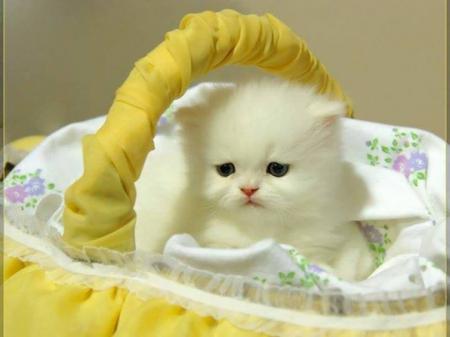 Sweet Baby Cats Animals Background Wallpapers On Desktop Nexus Image 1556957
