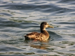 Duck on Lake George