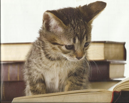 A tabby kitten reading a book - cute, paws, reading, tabby, book, kitten