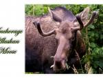 Alaskan Moose 2