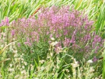 Wild grasses and flowers 1
