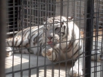 Mighty White Tiger