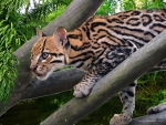 Ocelot in Jungle