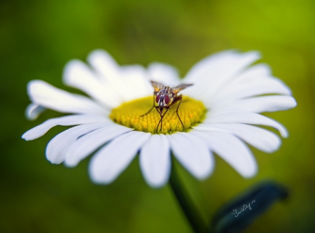White and lovely - flower, moth, petals, white
