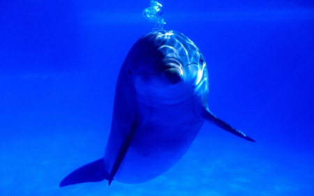 Beautiful dolphin - dolphin, blue, animals, ocean