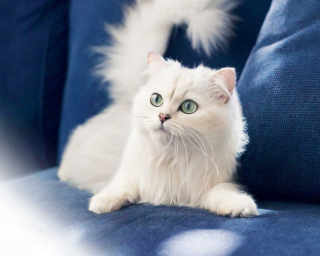 cute white kitten - cute, white, kitten, animals