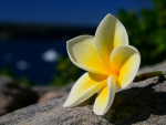 Plumeria by the Beach