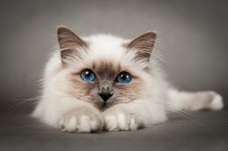 *** Sweet fluffy cat *** - cat, cats, animals, animal