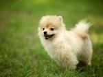 *** Pomeranian dog ***