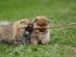 *** Pomeranian dogs ***