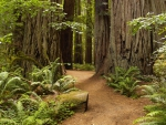 Jedediah Smith, Redwoods State Park, California