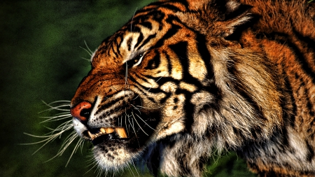 Angry Tiger Cats Animals Background Wallpapers On Desktop Nexus