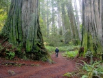 Redwood Forest, Montomery Wood State Park, California