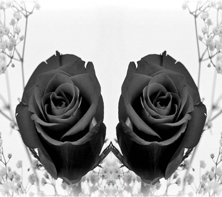 black roses - snow, black rose, wallpaper, flower, desktop