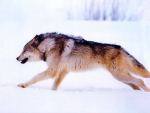 The Mighty Wolf Running
