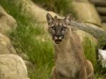 *** PUMA - wild cat ***