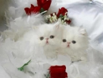 red roses and white fluffy kittens