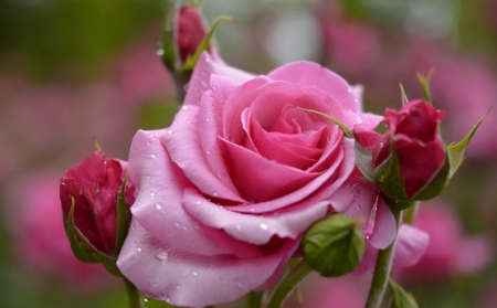 Pink roses flowers nature background wallpapers on desktop nexus pink roses pretty wet lovely beautiful drops roses buds mightylinksfo