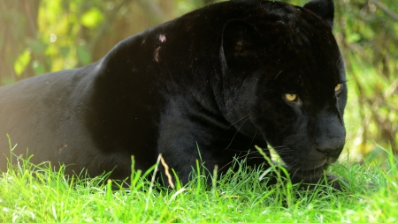 Angry Black Panther