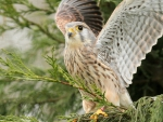 Cute-kestrel