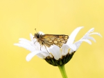 *** Butterfly ***