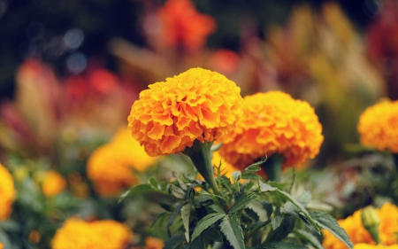 *** Marigold *** - flowers, marigold, nature, flower