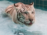 Tiger in Bathtub