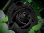 Exotic black rose