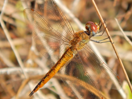 Dragonfly Photography - macro, beautiful, photography, dragonfly