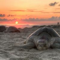 Turtles At Sunset!