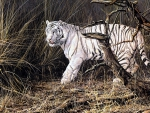 Wandering White Tiger