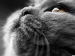 Grey cat face