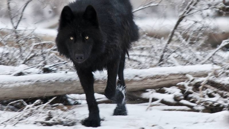 Black Wolf Other Animals Background Wallpapers On Desktop Nexus